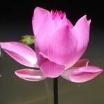 IMGP pink lotus crop